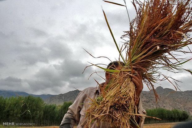 همه برنجهای ایرانی سال آینده کدرهگیری میگیرند/کشت ممنوع نمیشود