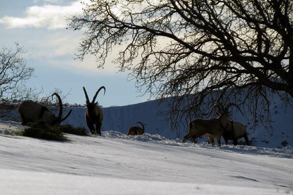 علوفه موردنیاز حیات وحش دنابرای بارشهای احتمالی برف تامین شده است