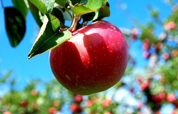 برداشت سیب درختی در چهارمحال و بختیاری آغاز شد