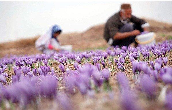 روایت دختر کار آفرین در سال جهش تولید/ کشت دو هکتار زعفران