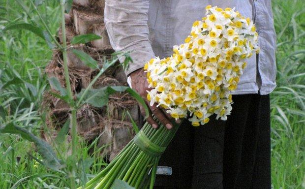 گل نرگس بهبهان نرگسزار