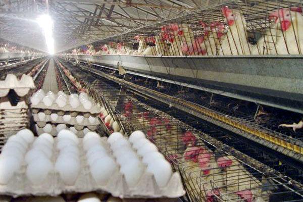 تخم مرغ - مرغداری