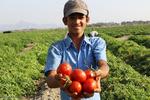 توافق با کشاورزان عملی نشد/ گوجه خون به دل مردم کرد