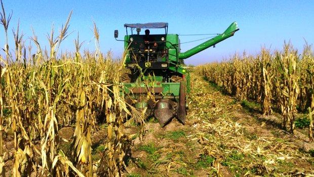 ذرت ذرتکاران کشاورزی خوزستان