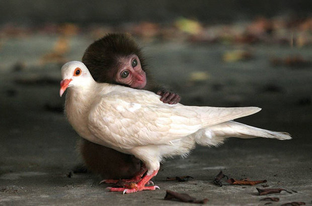 unusual-animal-friendship-monkey-pigeon__700.jpg