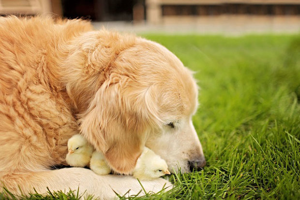 unusual-animals-friendship-retriever-dog-chickens__700.jpg