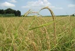 ۲۶۰ هزار تن انواع محصولات کشاورزی در کرمانشاه خرید تضمینی شد
