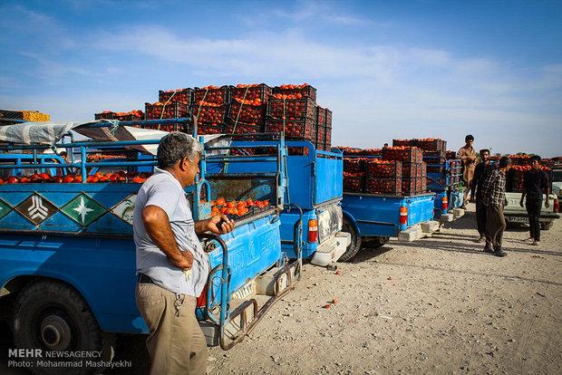 آمادگی کارخانه ها برای خرید ۶۰ هزار تن گوجه فرنگی کشاورزان میناب