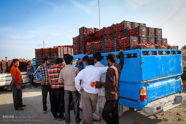 بازار گوجه فرنگی در شهرستان هشت بندی استان هرمزگان