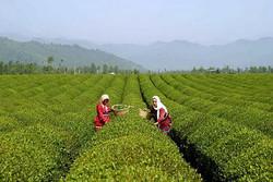 آغاز چین دوم چای/ کاهش تولید در پی آسیب دیدن باغات