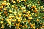 خسارت ۵۰۰ میلیارد ریالی گرما به محصولات کشاورزی دزفول
