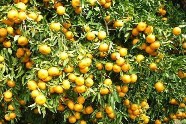 کراپشده - پرتقال