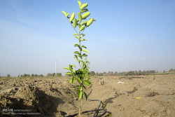 سالانه ۴ میلیون اصله نهال در مهران تولید می شود