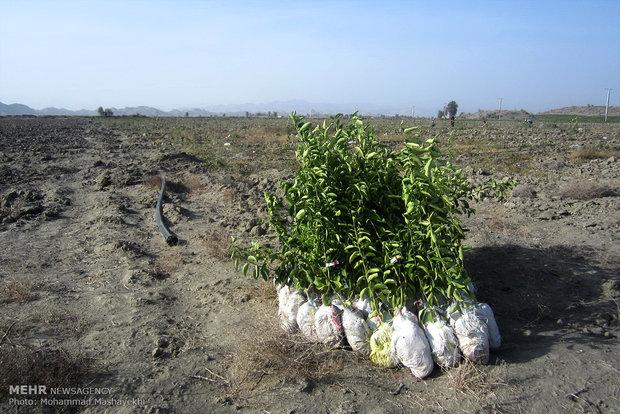 کاشت بادام تلخ وگیاهان دارویی در۵۹۰۰۰ هکتار از مراتع استان