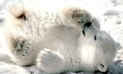 بازی توله خرس قطبی