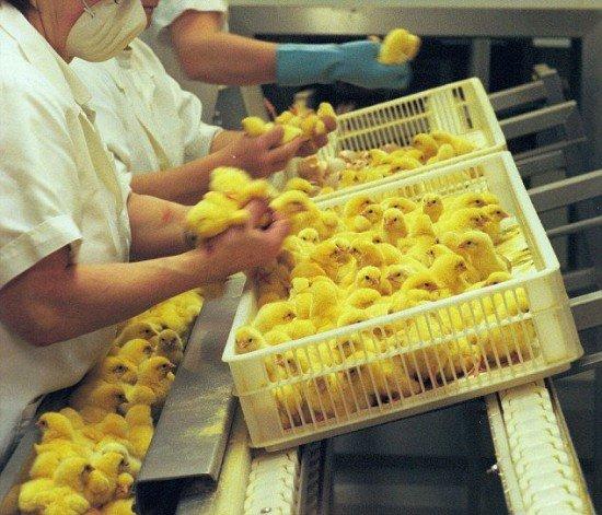 درآمد ۱۷ میلیونی از مرغ و خروس