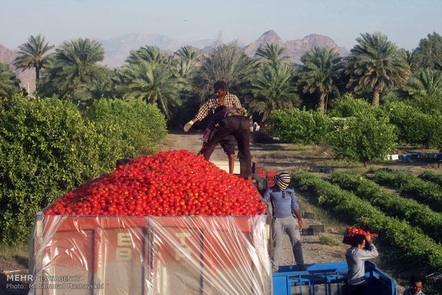 خرید تضمینی گوجه فرنگی های انباشته شده