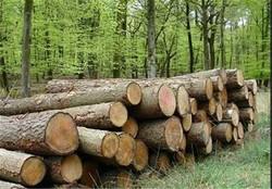 قاچاق چوب در کمین جنگلها؛ درختان ۷۰۰ ساله بلوط لرستان از شمال سر درآوردند!