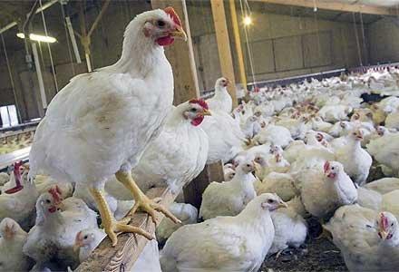 فروش گوشت مرغ - 86