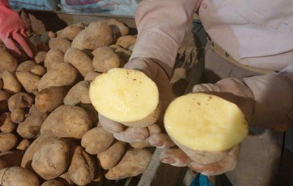 کارخانه سیبزمینی نیمه سرخشده منجمد در اردبیل راه اندازی میشود