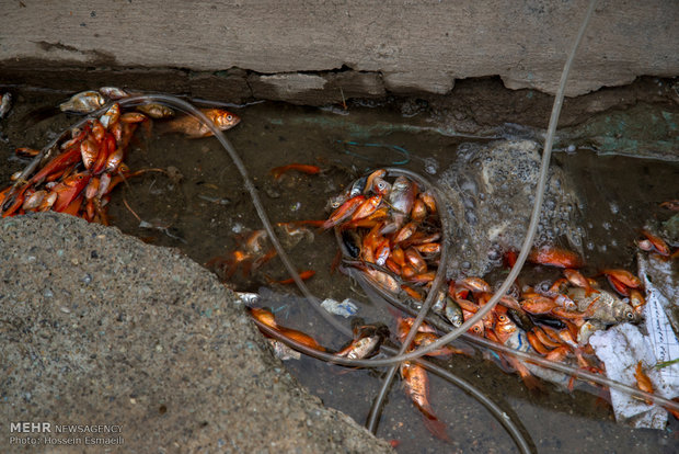 مرگ میلیون ها ماهی قرمز