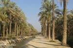 نخلستان آبپخش بوشهر خرما نخل آبیاری