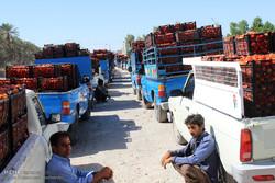 کشاورزان جنوب کرمان پس از پنج ماه یک سوم دستمزد را دریافت کردند