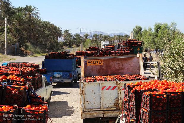 صف های طولانی خودروهای حامل گوجه فرنگی در شهرستان هشت بندی