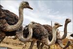 40 مزرعة لتربية النعام في محافظة فارس