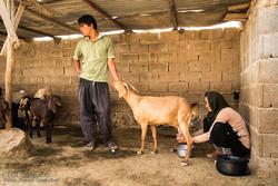 انگل «توکسوپلاسماگوندی» با جوشاندن شیر از بین میرود/شیوع بیماری در اصفهان قطعی نیست