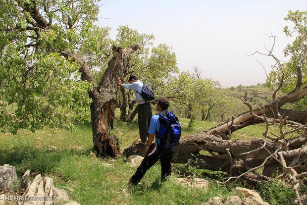 خشک شدن درختان بلوط