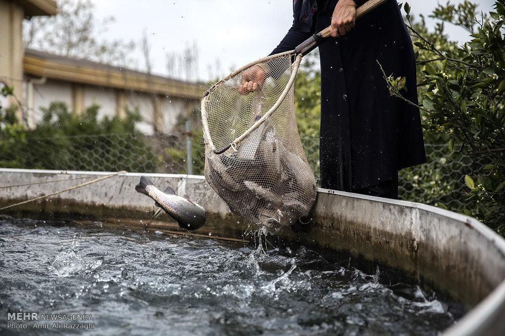 پرورش ماهی قزل آلا در منزل