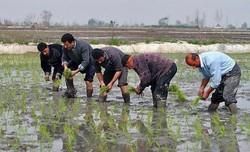 کم توجهی به صنعت تولید بذر/آموزش بهره برداران اصل است