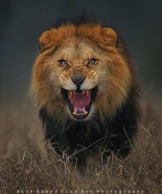 charging-lion2-550x659.jpg