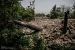 ادامه خشکاندن وقطع درختان درمنطقه دو شهرداری تهران