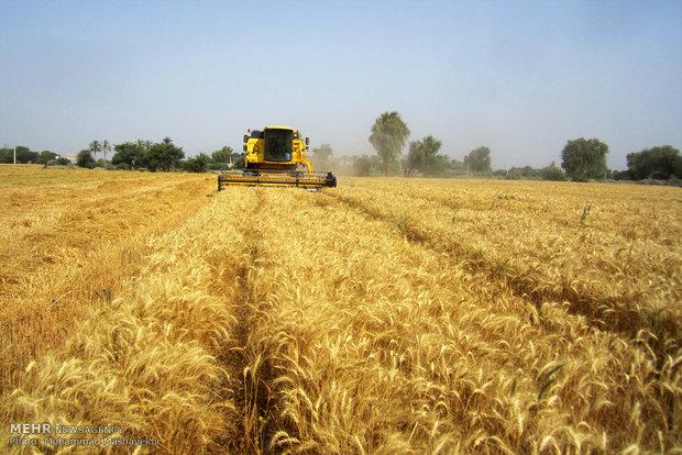 برداشت گندم از مزارع شهرستان هشت بندی استان هرمزگان