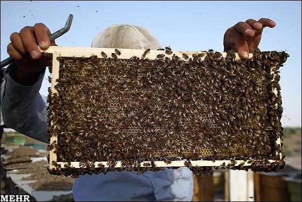 تولید ۴۰تن عسل درورامین/محصولی در مسیر ارز آوری
