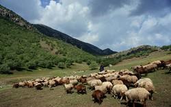 اجرای پروژه مدیریت چَرا در ۸۴هزار هکتار از مراتع شهرستان تهران