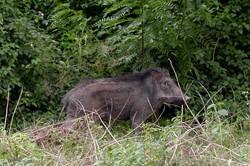 متخلفین شکار غیرمجاز «گراز» در شهرستان کوهدشت دستگیر شدند