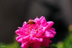 گل محمدی  سے آب گلاب