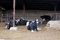 دامپروری همدان در دام مشکلات/۵۱ واحد پرورش گاو شیری تعطیل شد