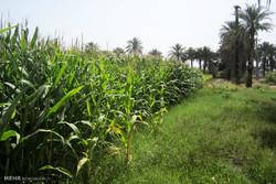 خرید بیش از ۲۵ هزار تن ذرت از کشاورزان خوزستانی