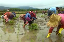 نشاکاری در روستای کندسر کلاچای