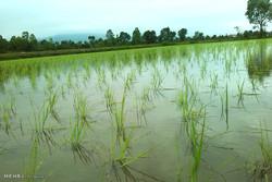 ۱۴ محصول جایگزین کشت برنج معرفی شد/کاهش مصرف آب به یک سوم