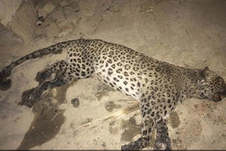 کشف لاشه یک پلنگ در دنا/ لاشه به اصفهان منتقل شد