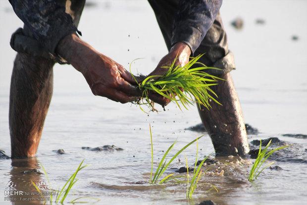نشاء کاری در مزارع آمل
