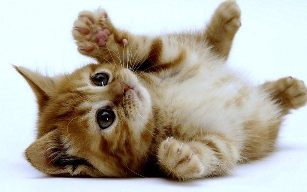 kitten-cat-wallpaper-12.jpg
