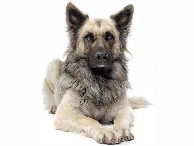 17706404245866071wolf-hybrid-dog1.jpg
