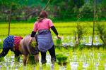 نشاکاری برنج شالیزارهای روستای بی بالان استان گیلان