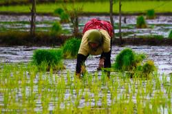 شتل الأرز يدوياً في شمال ايران